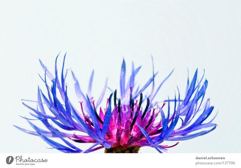 Kornblume grün Blume Blüte Flockenblume Feld Landwirtschaft ökologisch Sommer Kornfeld Ackerbau Zeichen abstrakt Hintergrundbild Makroaufnahme Nahaufnahme blau