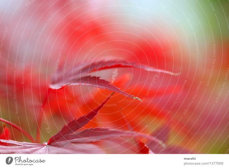 Ahorn Natur Pflanze rot Blatt Umwelt Herbst Garten Stimmung Sträucher