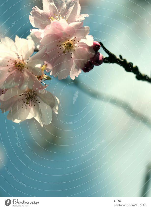 Apfelblüten rosa Frühling lecker frisch zart Blüte Blume fruchtbar Sommer träumen Blühend Duft Himmel blau Zweig schön sanft Unschärfe