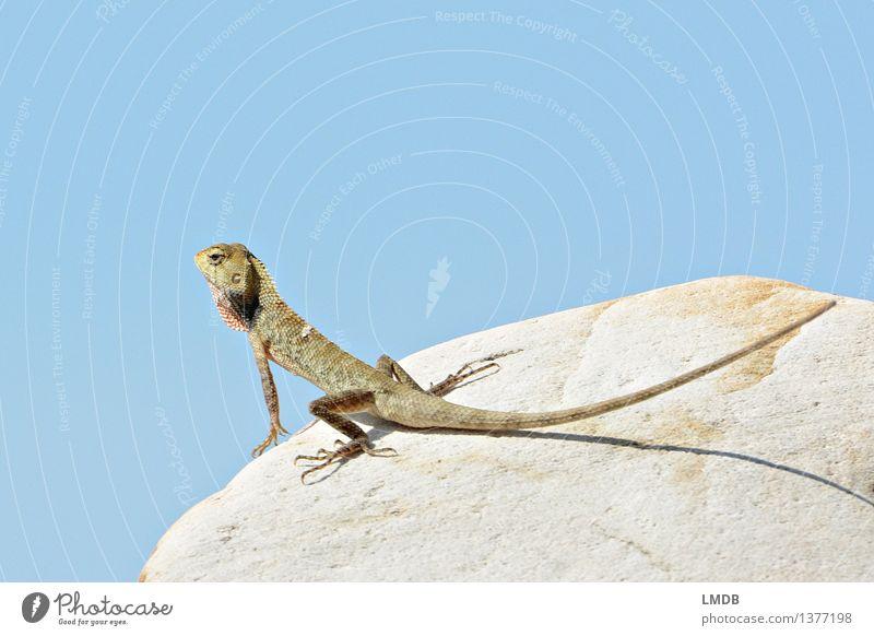Guckst du! V Natur Tier Wildtier 1 blau Himmel Echte Eidechsen Echsen Sonnenbad Schuppen Blick beobachten Pause Farbfoto Außenaufnahme Detailaufnahme