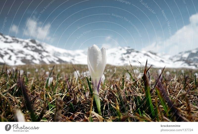 Alpenfrühling Krokusse Frühling aufwachen Kanton Graubünden Alp Flix Schweiz grün Wiese Wachstum weiß Blume Pflanze sprießen Blüte frisch Bergwiese springen