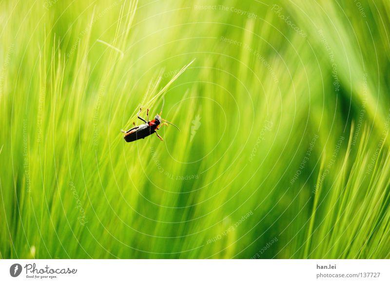 Käfer Natur Tier Gras Feld festhalten grün rot schwarz Farbe Insekt Halm Fühler satt Suche Makroaufnahme Beine Textfreiraum rechts Textfreiraum unten