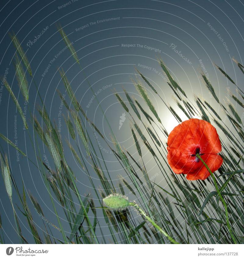 in flandern fields Natur grün blau Pflanze rot Sommer Wiese Blüte Gras Feld Rasen Kultur Insekt Getreide Stengel Landwirtschaft