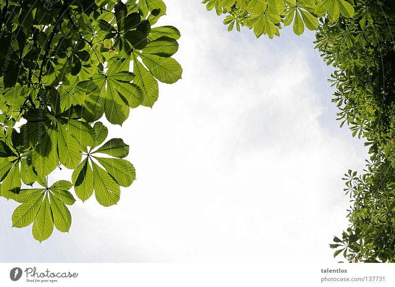 grünlich vermutlich Himmel Baum grün blau Sommer Blatt Wolken springen oben Frühling frisch Aussicht Kastanienbaum