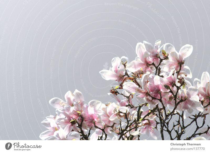 Magnolien aus Stahl schön weiß Baum Pflanze Blüte Frühling grau hell rosa Wachstum Blume Ast Blühend Botanik edel Zweig