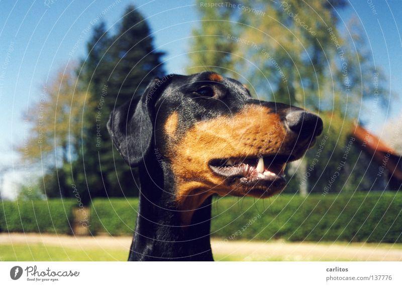 *staun* der Dackel von Oma Meier wird immer dicker ! Spielen Hund Sicherheit Körperhaltung Geruch Säugetier Angeben Dobermann Wittern