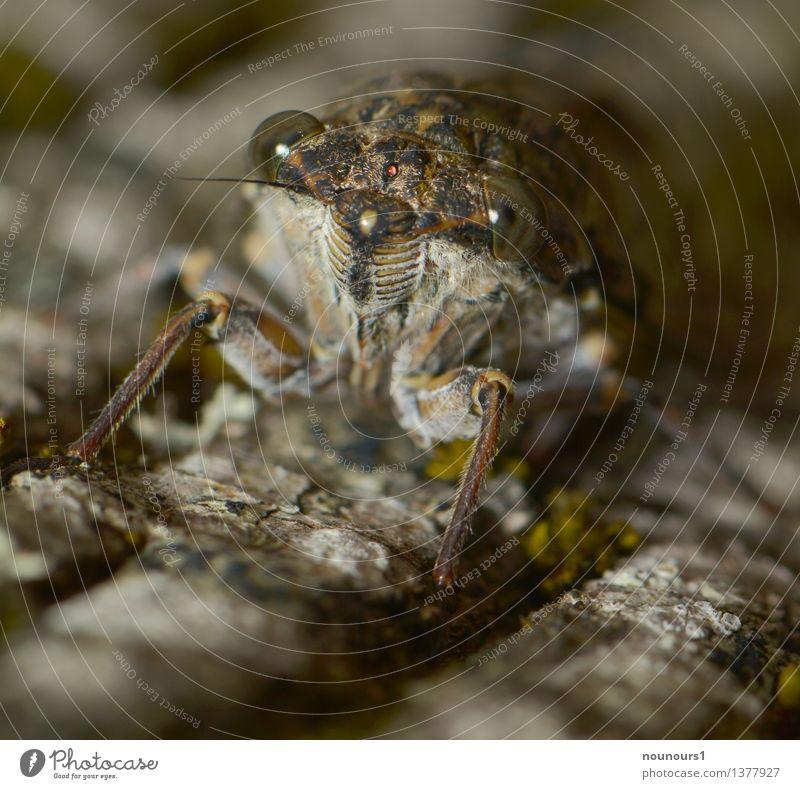 la cigalle Tier außergewöhnlich Wildtier Insekt hocken Gesang ohrenbetäubend Zikade Halbflügler