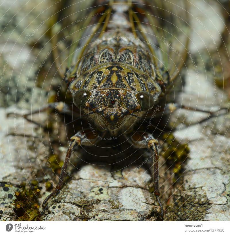 perfekt getarnt Tier Wildtier Tiergesicht singzikade 1 hocken cicadidaetier cicadoidea cicadomorpha Gesang Wanze Sechsfüßer Insekt laut paarungslaute
