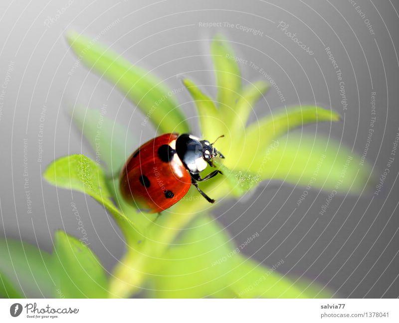 Weg ins Glück? Natur Pflanze Tier Frühling Sommer Grünpflanze Käfer Marienkäfer Siebenpunkt-Marienkäfer Insekt 1 krabbeln ästhetisch frei Freundlichkeit