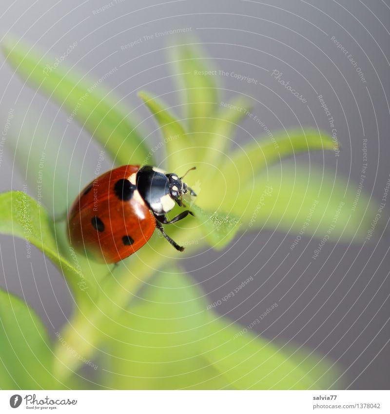 Endlich oben Natur Pflanze Tier Frühling Sommer Blatt Grünpflanze Käfer Marienkäfer Siebenpunkt-Marienkäfer Insekt 1 krabbeln ästhetisch frisch Glück natürlich