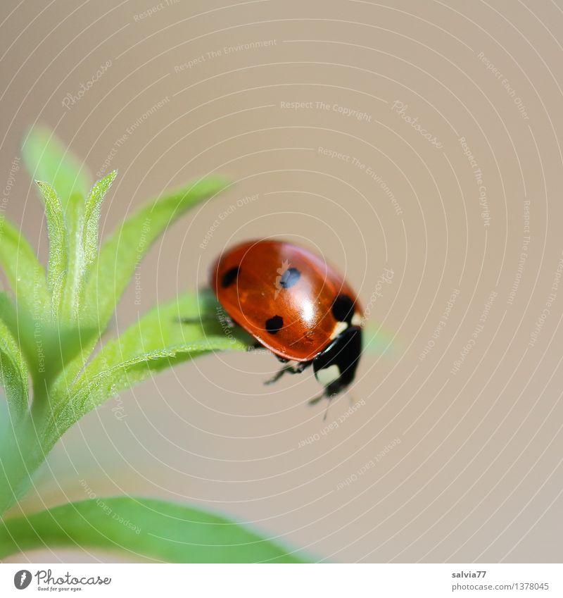 Tritt ins Leere Natur Pflanze Tier Frühling Sommer Blatt Grünpflanze Wildtier Käfer Marienkäfer Siebenpunkt-Marienkäfer 1 fallen krabbeln leuchten glänzend