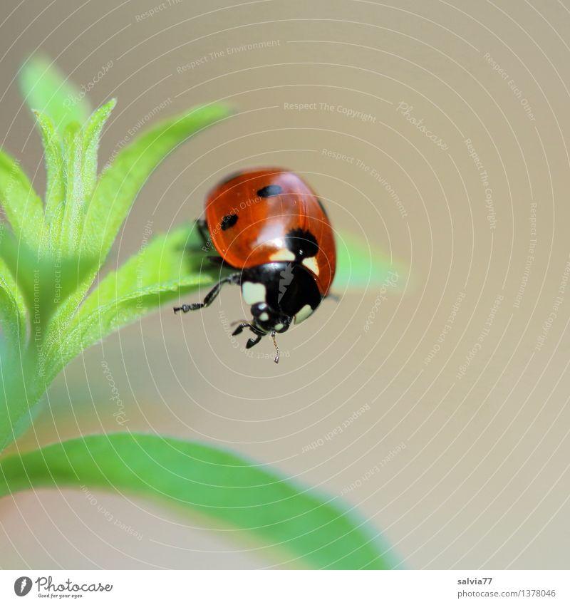 Wendepunkt Natur Pflanze Tier Frühling Sommer Blatt Grünpflanze Käfer Tiergesicht Flügel Siebenpunkt-Marienkäfer 1 festhalten ästhetisch frei Freundlichkeit