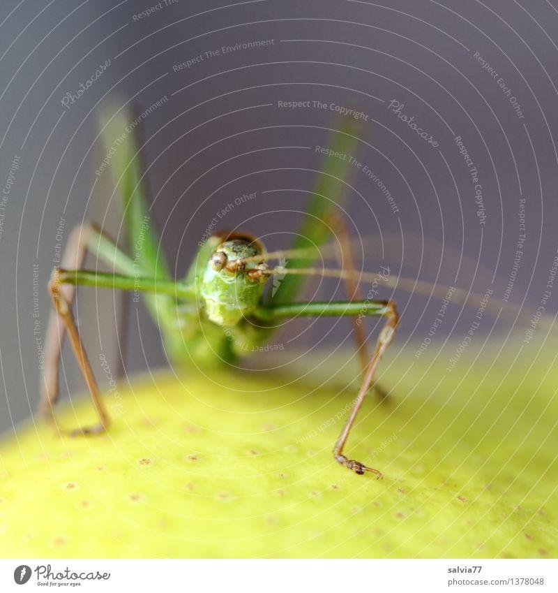 Frecher Hüpfer Natur grün Tier Umwelt gelb grau Frucht sitzen beobachten Neugier Insekt exotisch Tiergesicht frech skurril Ekel