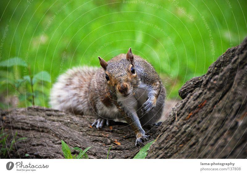 250 - Da guckste?! Manhattan Amerika Eichhörnchen Nagetiere Tier Schüchternheit erstaunt Neugier Baum Baumrinde Wiese Park Haselnuss Frühling Sommer