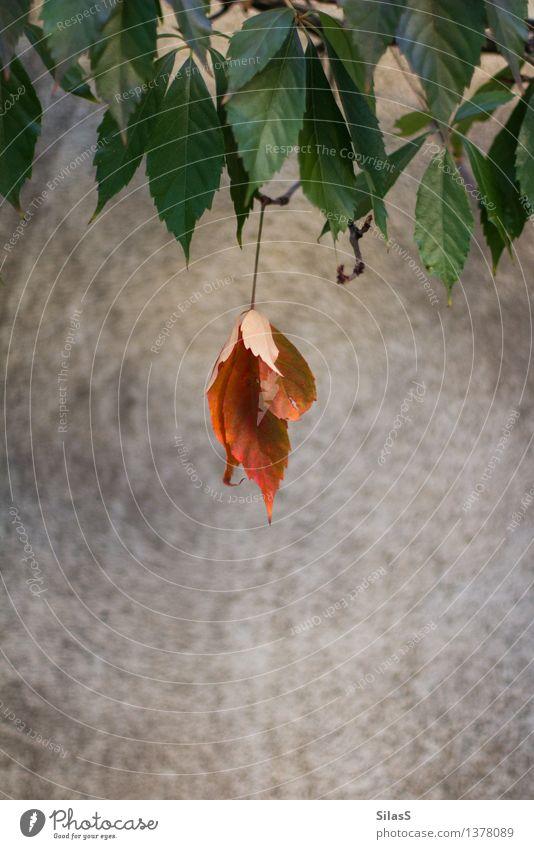 Anders Natur Pflanze grün rot Einsamkeit Blatt Umwelt Wand Mauer grau außergewöhnlich braun orange Sträucher einzigartig Stolz