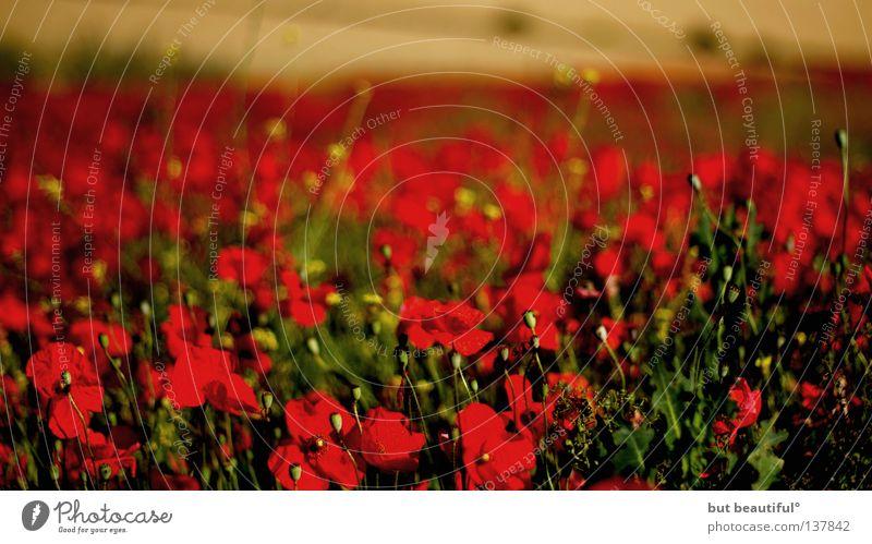 mohnschein° Mohn Feld rot Landwirtschaft poetisch Spanien Sommer Mohnfeld schön