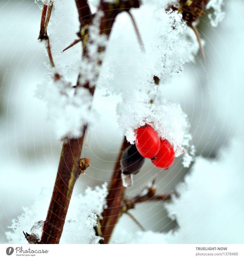 Schneeweiss und Rosenrot... Natur Pflanze schön Wasser weiß rot Winter kalt Umwelt lustig Schnee grau Garten braun Park Schneefall