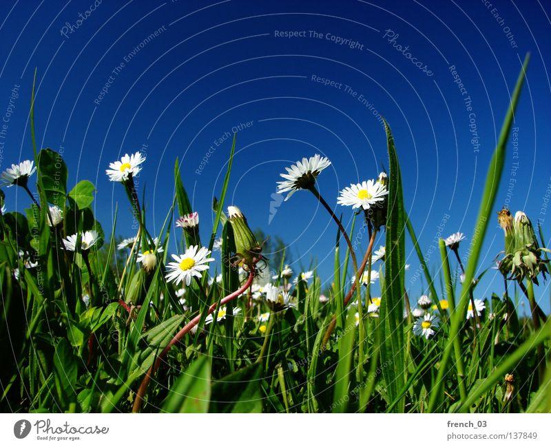 weiße Blümchen Natur schön Himmel Blume grün blau Pflanze Sommer ruhig gelb Farbe Erholung Wiese Gefühle Blüte