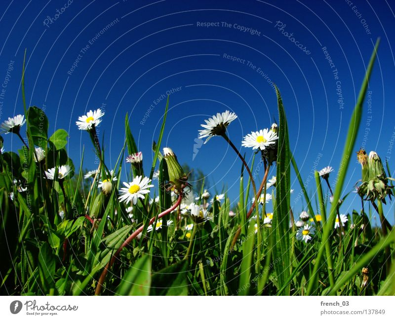 weiße Blümchen Natur schön Himmel weiß Blume grün blau Pflanze Sommer ruhig gelb Farbe Erholung Wiese Gefühle Blüte
