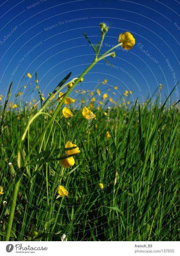 gelbe Blümchen Himmel Natur blau grün schön Pflanze Sommer Blume Farbe Einsamkeit ruhig Erholung Landschaft gelb Wiese Lebensmittel