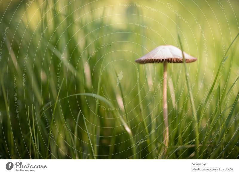 Verträumt Natur Pflanze Herbst Schönes Wetter Gras Wiese Wachstum klein braun grün Glück Lebensfreude Optimismus geduldig ruhig Pilz Pilzhut Farbfoto