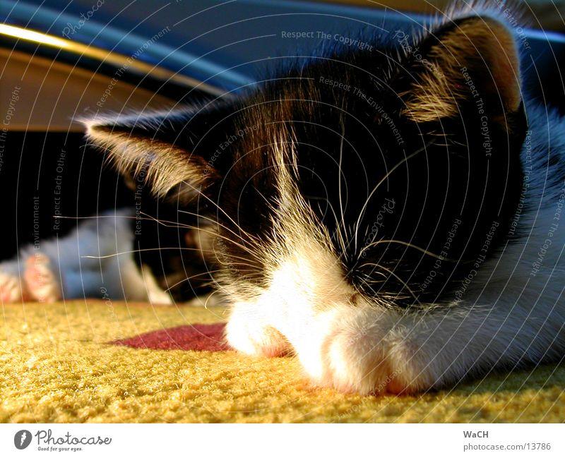 schlafende Kätzchen nr.3 Katze Haustier Hauskatze Hose Fell Teppich Barthaare Säugetier cat scheckig Fleck Auge Schwarzweißfoto liegen Ohr Haare & Frisuren