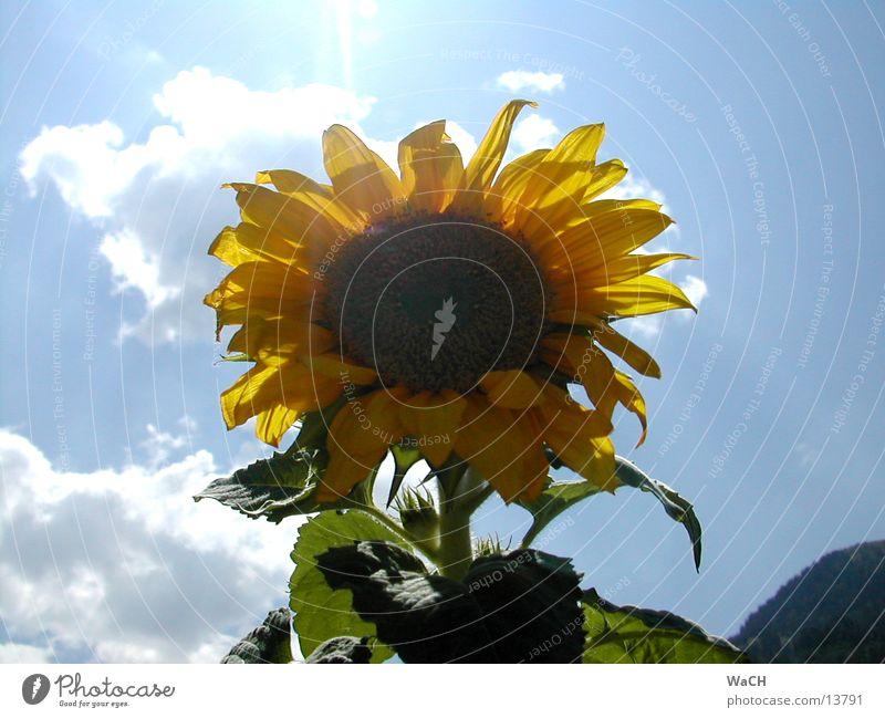 Sonnenblume 2 Blume Himmel gelb rot Vogel Sonnenblumenkern Frühling Sommer Wolken Blatt Gegenlicht flower sky sun orange clouds sunflower