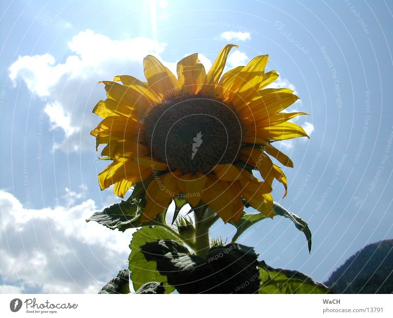 Sonnenblume 2 Himmel Sonne Blume rot Sommer Blatt Wolken gelb Frühling orange Vogel Sonnenblume Sonnenblumenkern