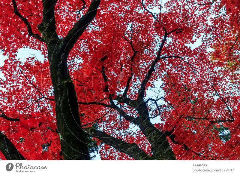 Rote Blätter im Herbst Umwelt Natur Landschaft Schönes Wetter Pflanze Baum Garten Park Wald Farbe Glück Hoffnung Idee Identität innovativ Inspiration