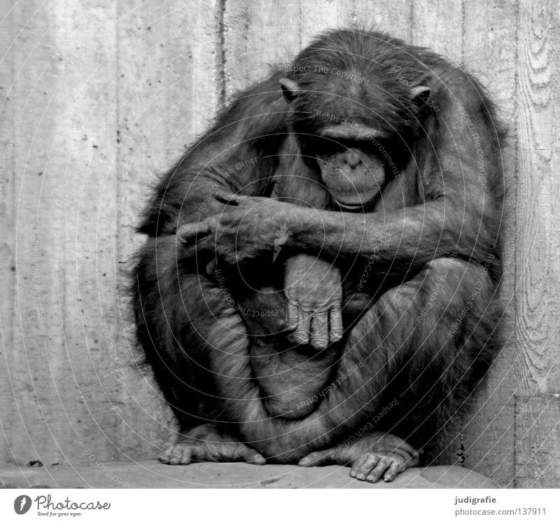 Arrest Schwarzweißfoto Außenaufnahme Tag Tierporträt Vorderansicht Blick nach unten Haare & Frisuren Erholung ruhig Zoo 1 Beton sitzen Traurigkeit schwarz