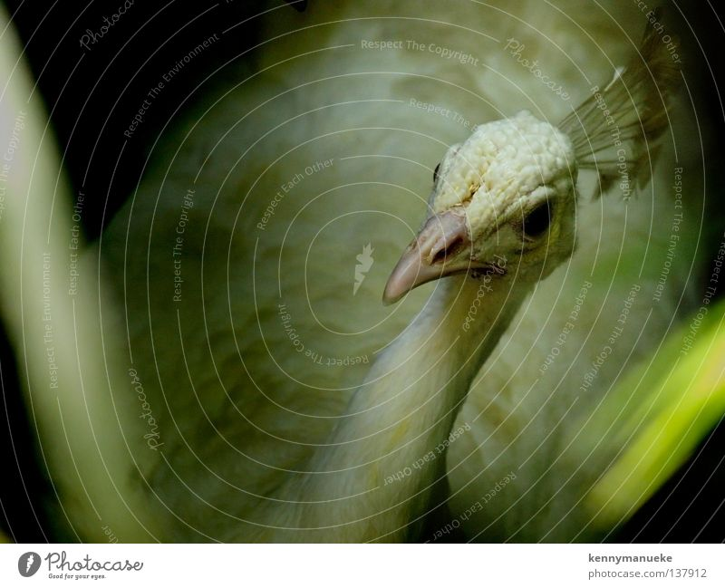 White Peacock Bali Albino Vogel peacock bird indonesia wildlife conservation eye crown