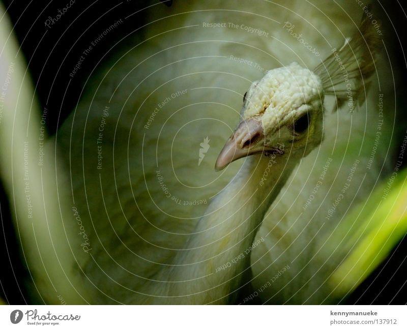 White Peacock Vogel Asien Bali Albino