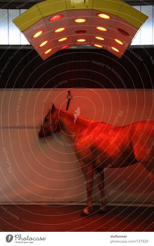Grillfleisch rot Wärme warten Pferd Physik Wut Säugetier Heizkörper trocknen Ärger Reitsport transpirieren Tier angekettet
