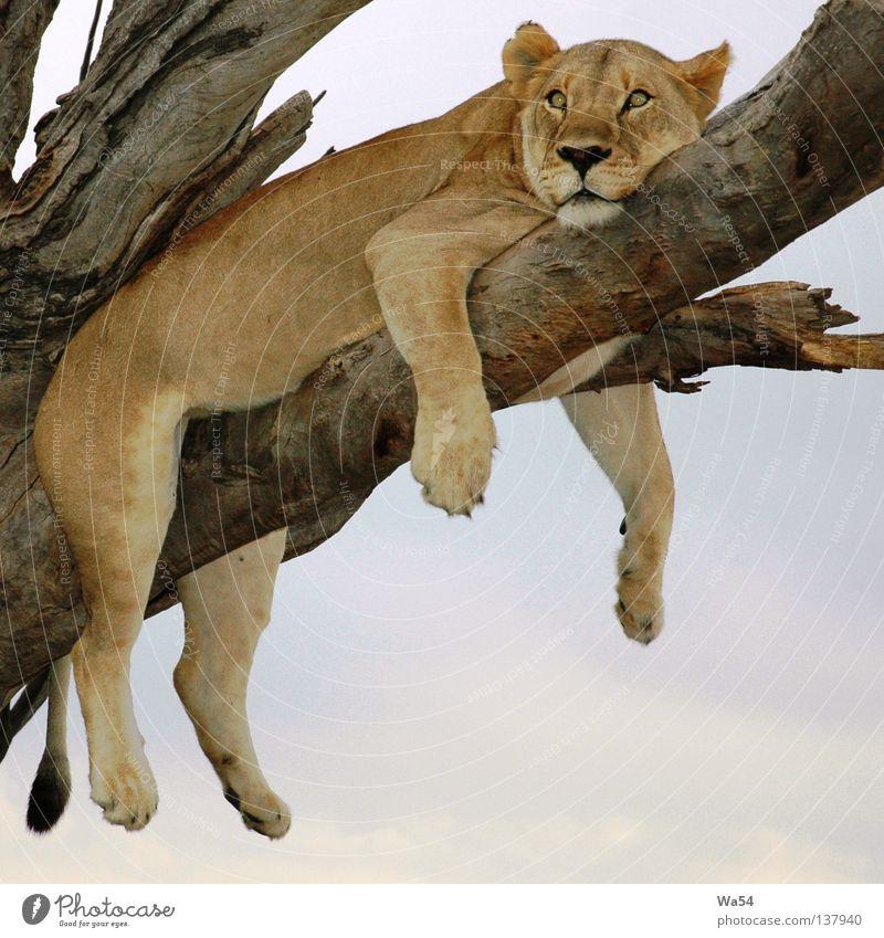 Bin ich faul Farbfoto Außenaufnahme Erholung Safari Himmel Baum Fell Tier Wildtier Pfote Zoo 1 Denken träumen braun Langeweile Müdigkeit bequem Löwe Löwin
