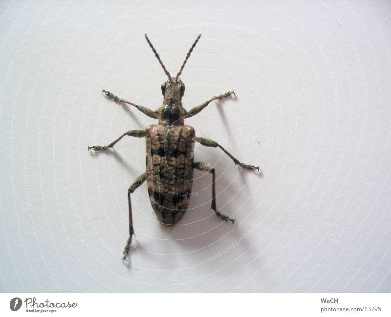 Das große Krabbeln Schiffsbug Fühler krabbeln Insekt Lebewesen Natur klein Tier Detailaufnahme Marko Käfer sechs Beine 6 Beine gepanzert Kleinvieh Kleintier