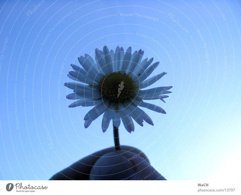 Gänseblümchen Himmel Natur blau schön Blume Freiheit Blüte klein frei Finger Schönes Wetter Gänseblümchen Blütenblatt Hand Blütenkelch