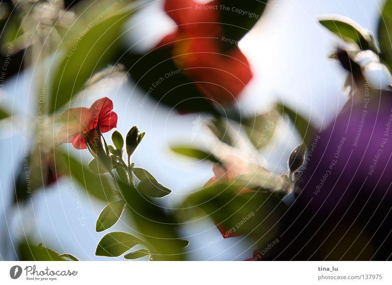 durchschaut. Frühling Sommer himmelblau hell-blau Sträucher Blüte weiß Blütenblatt braun grün frisch Licht genießen Physik Sonnenstrahlen träumen Balkon rot