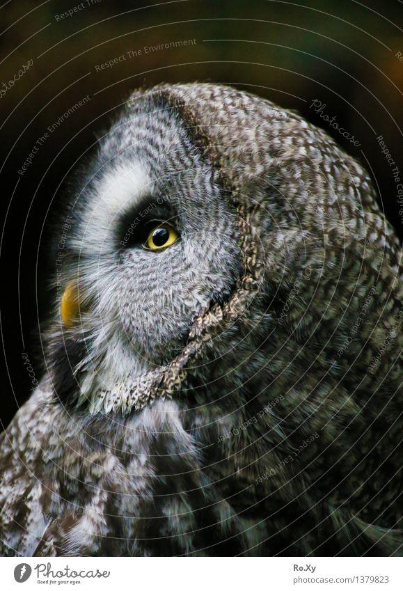 Uhuuu - Profil einer Eule Tier Eulenvögel 1 frei ruhig Feder Profilbild Auge Schnabel Farbfoto Außenaufnahme Menschenleer Tag Halbprofil