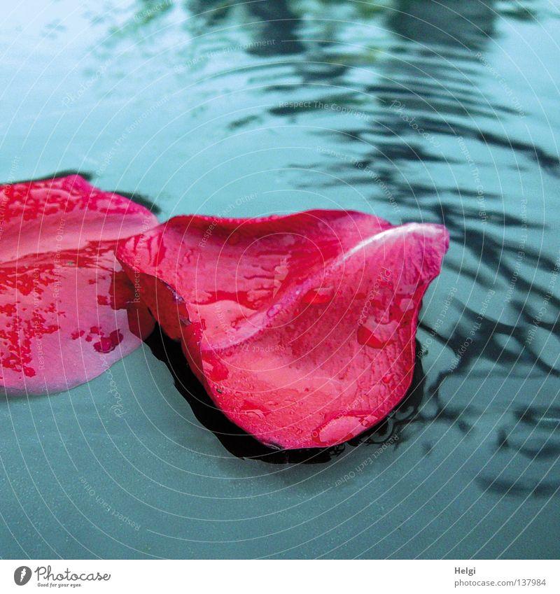 Rosenblütenbad... Wasser weiß Blume blau rot Blüte Frühling Park Regen Wetter Wassertropfen nass Kreis Wellness fallen
