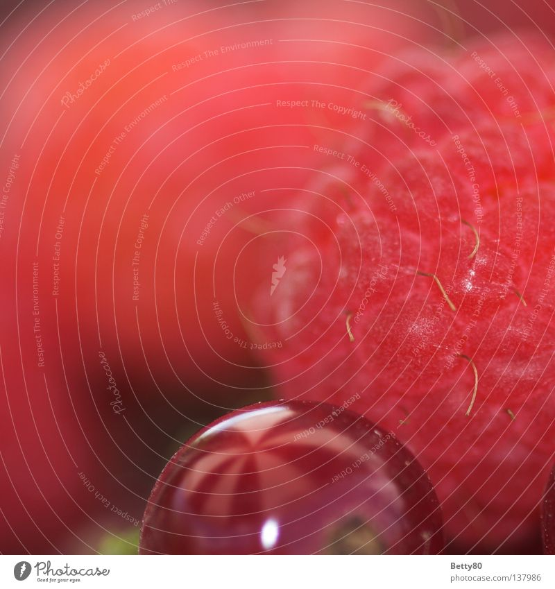 Freche Früchtchen Himbeeren Gesundheit essbar süß Ernährung Dessert Pflanze Frucht Makroaufnahme Nahaufnahme Sommer Beeren Himbeerstrauch Johannisbeeren
