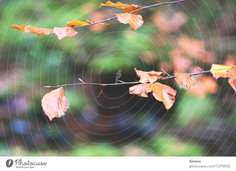 Buchenstäbe Natur Pflanze Herbst Baum Blatt Buchenwald Herbstlaub Buchenblatt Zweig Wald Herbstwald alt hängen trocken grün orange rot demütig Trauer Hoffnung