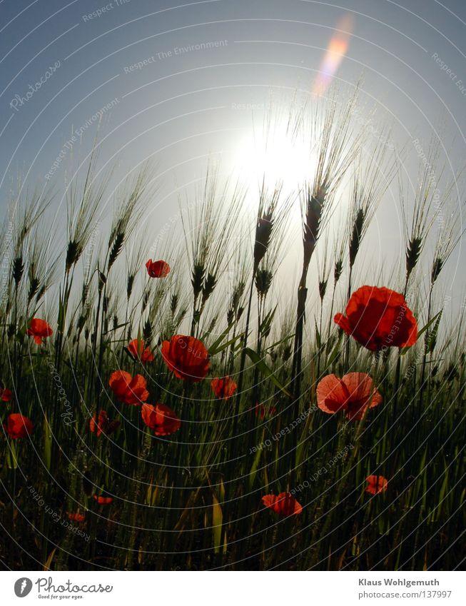 Papaver Natur Himmel Sonne Blume Pflanze rot Sommer Blüte Feld Wind Getreide Mohn Halm Botanik Ackerbau Grundbesitz