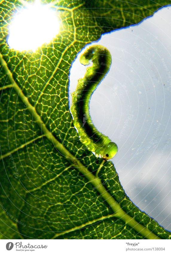 raupe nimmersatt Casa Milà - La Pedrera grün Schmetterling Raupe Ernährung jam jami Sonne caterpillar