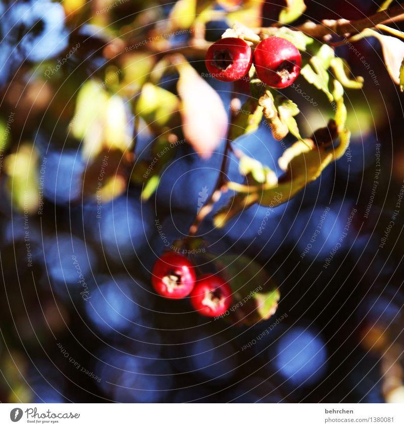 giftig Natur Pflanze Sommer Herbst Schönes Wetter Baum Blatt Beeren Garten Park Wiese Wald frisch schön blau rot Gift herbstlich Farbfoto Außenaufnahme