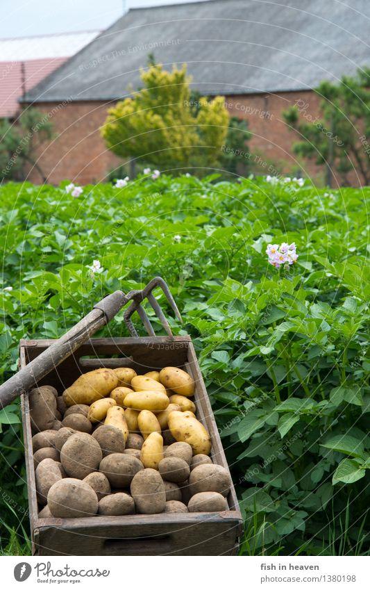Kartoffelfeld mit Molle voll Kartoffeln Lebensmittel Gemüse Ernährung Bioprodukte Vegetarische Ernährung Natur Pflanze Nutzpflanze Feld lecker natürlich grün