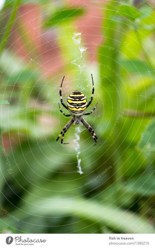 Wespenspinne im Netz Tier Spinne 1 warten Radnetzspinne Farbfoto Außenaufnahme Makroaufnahme Tierporträt