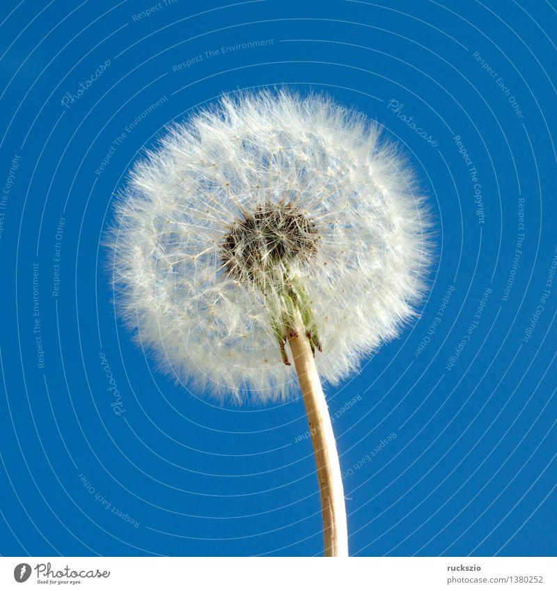 Loewenzahn; Taraxacum; officinale; Natur Pflanze blau weiß Blüte Hintergrundbild frei Samen Löwenzahn Stillleben Alternativmedizin Heilpflanzen Wildpflanze