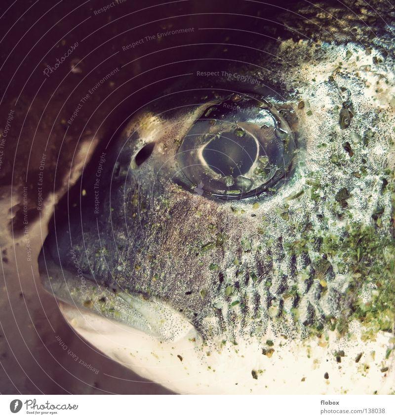 Großmaul.. II alt Wasser grün Meer Tier Tod kalt Lebensmittel Mund frisch Ernährung Fisch Lebewesen genießen Angeln Müdigkeit