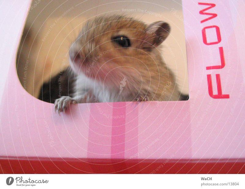 mouse flow Hausmaus Mongolische Rennmaus Haustier rosa Nachkommen Schachtel grau Krallen Schwanz Nagetiere Mausefalle Säugetier Tier mice Masu Wüstenspringmaus