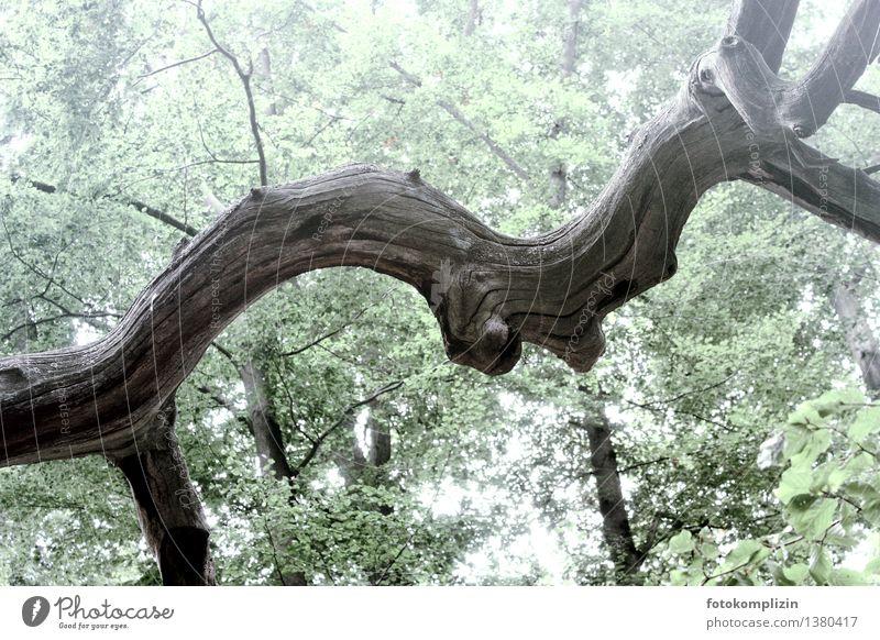 quer ast Natur alt Pflanze Baum ruhig Wald Umwelt Leben Senior Holz grau Kraft Ast Vergänglichkeit einzigartig Baumstamm